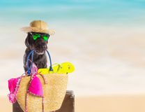 Funny summer black dog with summer accessories. Royalty Free Stock Photography