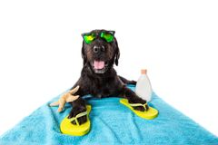 Funny summer black dog with summer accessories. Stock Photos
