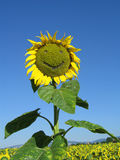 Funny sunflower. A smilling funny sunflower with a nice blue sky Royalty Free Stock Image