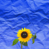 Funny sunflower. Blooming sunflower with a funny face Stock Images