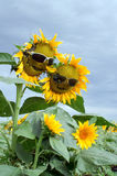 Funny sunflower family. Stock Photo