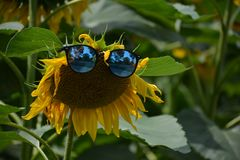 Funny sunflower stole my sunglasses royalty free stock images