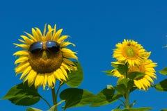 Funny sunflower Stock Photos