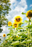 Funny sunflower with sunglasses Stock Photos