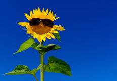 Funny sunflower wearing sunglasses Royalty Free Stock Photography