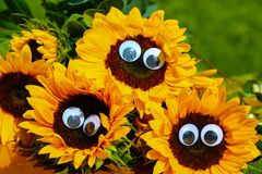 Funny sunflowers with wobbly eyes stock image