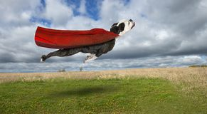 Funny Superhero Dog, Flying Bulldog. A funny bulldog flies through the sky in a cape and superhero costume. The dog of steel is a hero for good and fighting royalty free stock image
