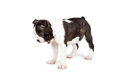 Funny Surprised Puppy Dog Looking Down. Funny photo of a seven week old Boston Terrier puppy dog looking down with his mouth open and a happy expression Royalty Free Stock Images