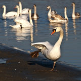 Funny Swan Stock Photo