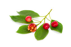 Funny sweet cherry on a branch Stock Photos