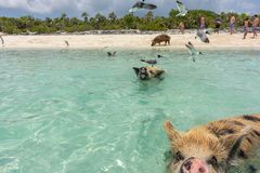 Funny swimming pigs in the sea, Exuma, Bahamas royalty free stock photo