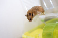 Funny syrian hamster gets out of its cage Royalty Free Stock Photography