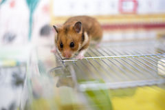 Funny syrian hamster gets out of its cage Stock Photo
