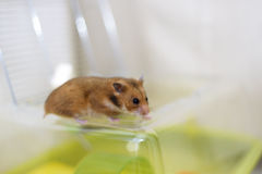 Funny syrian hamster gets out of its cage Royalty Free Stock Images