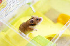 Funny syrian hamster gets out of its cage Stock Photography