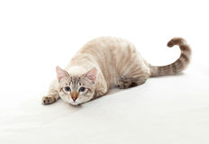 Funny tabby. Royalty Free Stock Images