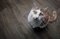 Funny tabby cat looking up at camera. Funny picture of a longhair cat Royalty Free Stock Images