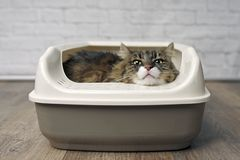 Funny tabby cat sitting in a llitter box and looking curiously outside. Focus on foreground royalty free stock images