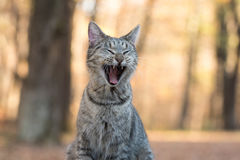 Tabby cat yawning. Funny tabby cat yawning and showing its teeth with fall color background Stock Image