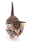 Funny tabby kitten Royalty Free Stock Image