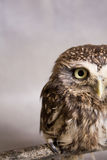 Funny tamed howlet half of the face in the shot, wild, night owl Royalty Free Stock Photography