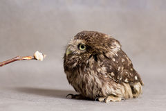 Funny tamed owlet and stick with food, wild owl Stock Photography