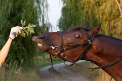 Funny tan horse close-up try to eat a branch. With a silly expression on it's face Royalty Free Stock Images