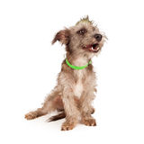 Funny Terrier Dog Laughing Royalty Free Stock Photos