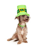 Funny Terrier Dog Laughing Royalty Free Stock Image