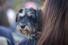 Funny terrier dog sits at the woman 2. Funny terrier dog sits at the woman`s hands 2 royalty free stock photography