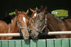 Funny thoroughbred horses standing in the stable door Stock Photography