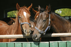 Funny thoroughbred horses standing in the stable door Stock Images