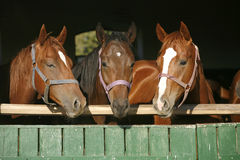 Funny thoroughbred horses standing in the stable door. Young thoroughbred chestnut horses in the stable door Royalty Free Stock Images