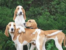 Funny Three hunting dogs a beagle free in the park. Funny Three hunting dogs a beagle in the park in summer day. green bushes on a background royalty free stock photography