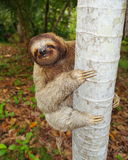 Funny three-toed sloth climbing tree trunk. Funny brown-throated three-toed sloth climbing on tree trunk, Central America Royalty Free Stock Photo