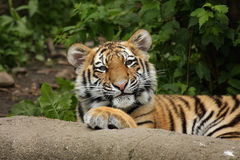 Funny Tiger Cub. Amur Tiger Cub staring at the viewer with a funny face Stock Photography