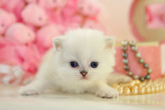 Funny tiny British kitten Royalty Free Stock Image