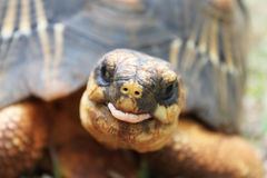 Funny Tortoise Stock Photography