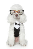 Funny Toy Poodle in a tuxedo and glasses. On a white background
