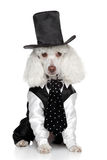 Funny Toy Poodle in a tuxedo and hat Stock Images