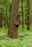 Funny tree. Tree with a hollow like a funny face Stock Photo