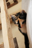 Funny tricolor cat peeking out of wooden furniture Stock Photo