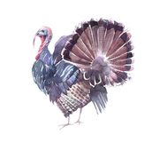 Funny turkey with an open tail. royalty free illustration