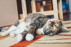 Funny Turn Over Cat. Funny Face Kitty playing on the floor Stock Photography