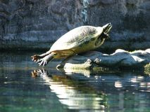Funny Turtle royalty free stock photos