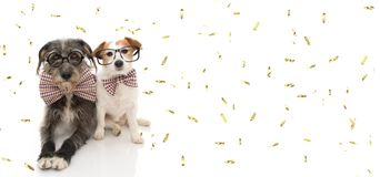 FUNNY TWO DOGS READY FOR CELEBRATE A BIRTHDAY OR NEW YEAR PARTY WEARING VINTAGE BOWTIE AND BLACK GLASSES. ISOLATED ON WHITE. BACKGROUND WITH GOLDEN CONFETTI stock images