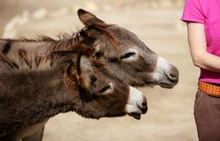 Funny two donkey want to bit or kiss a woman. Ass Royalty Free Stock Photos