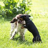 Funny two young dogs playing rough in summer nature. Funny young dogs breed english springer spaniel and dachshund playing togethe on green grass in summer royalty free stock image