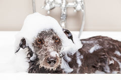 Funny Unhappy Wet Terrier Dog in Bathtub Royalty Free Stock Photos