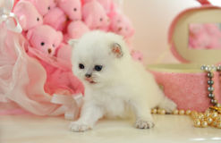 Funny very little  British kitten in a pink atmosphere Royalty Free Stock Photography